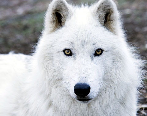 Lighting Wolf's Fursona Avatar