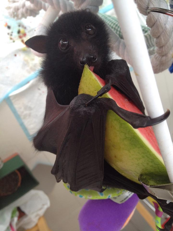 flap flap I am a bat's Fursona Avatar